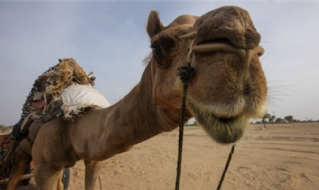 Camels as essential transportation tool in India's hot dessert